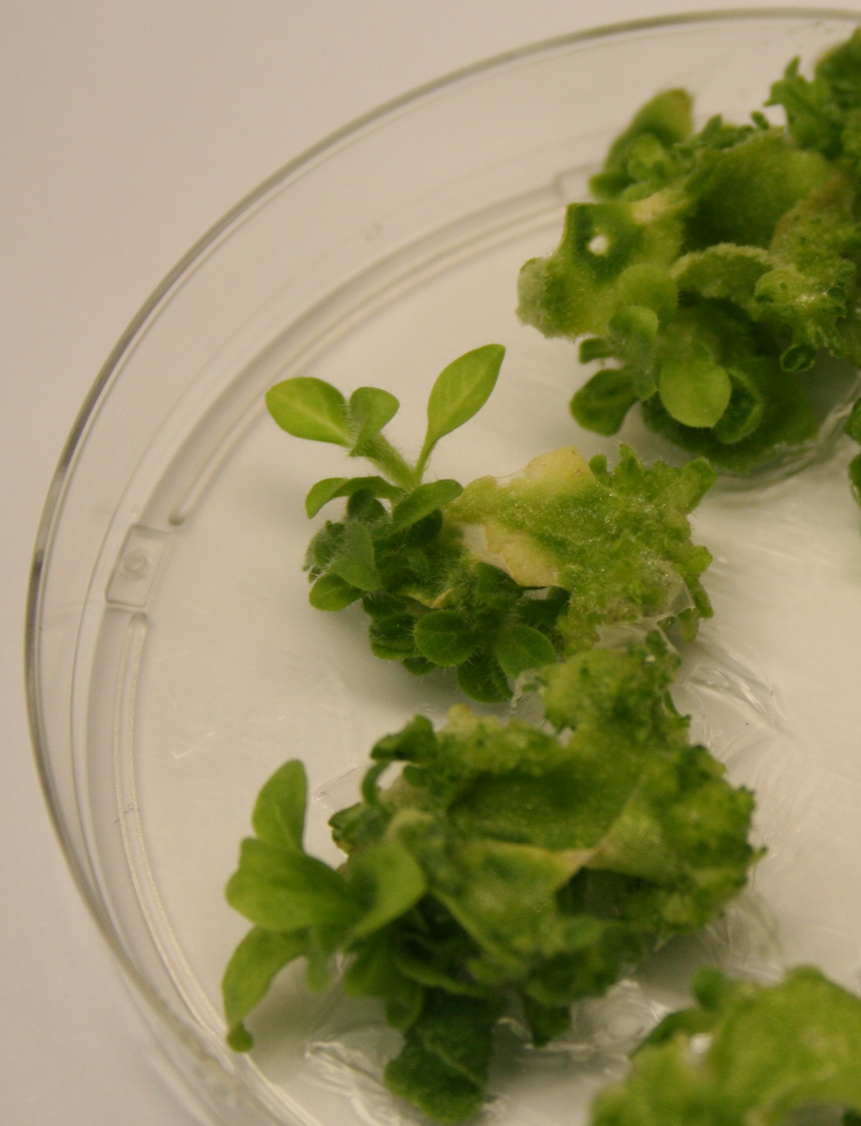 how to make tissue culture