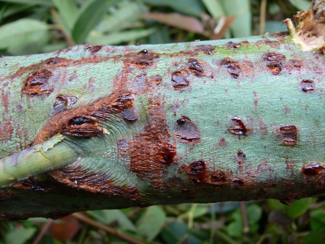 Canker found on Eucalyptus grandis in China caused by the destructive pathogen Kirramyces zuluense. This pathogen was first found and described in South Africa and is now known to have a wide distribution in Eucalypt-growing parts of the world.