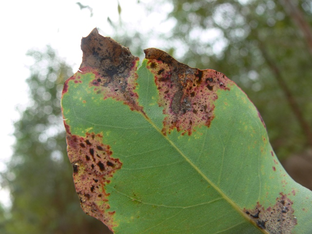 Phaeophleospora destructans found on Eucalyptus hybrids in China. This is one of the most destructive leaf and shoot blight pathogens of Eucalyptus, first found in North Sumatera (put in PDF) and now having spread throughout SE Asia.